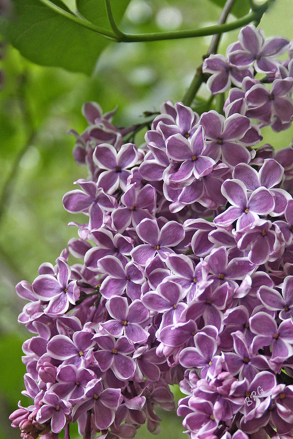 Purple Photograph - In The Garden. Lilac by Ben and Raisa Gertsberg