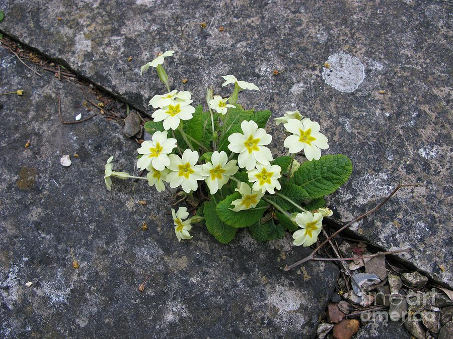 Primrose Photograph - In The Garden Path by Ann Horn