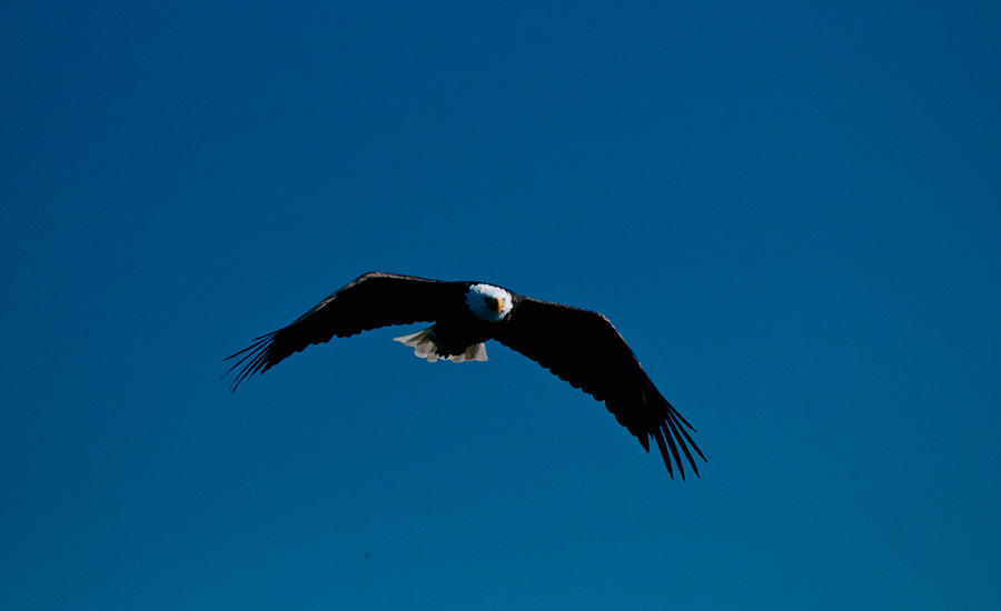 Eagle Photograph - In The Glide Path by Paul Mangold