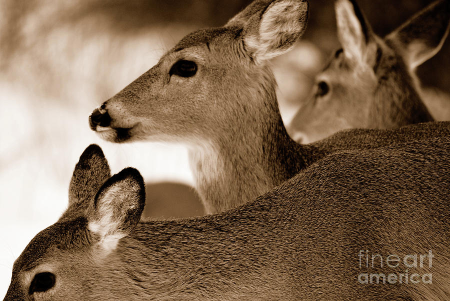 Deer Photograph - In The Middle by Lori Tambakis