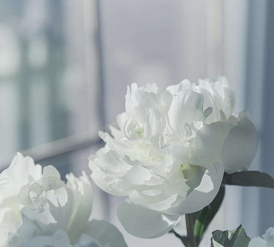 Peony Photograph - In The Morning Light by Kim Hojnacki