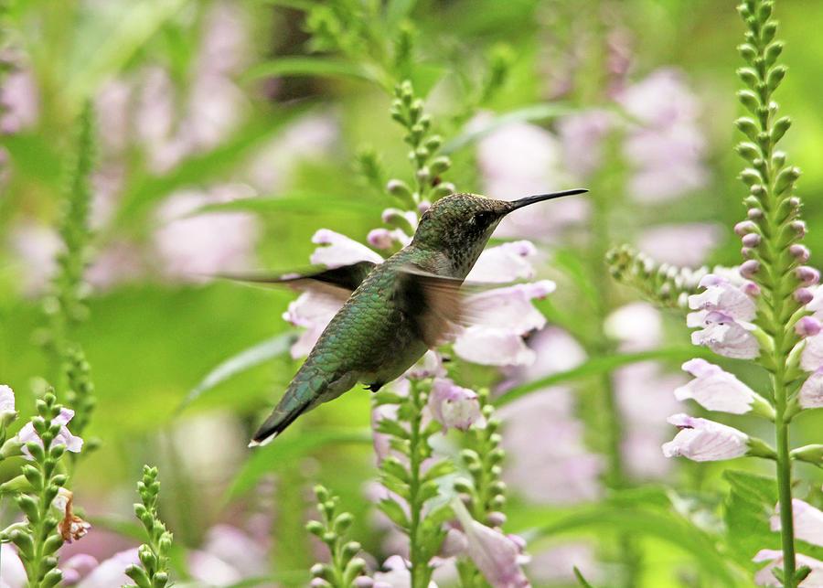 Hummingbird Photograph - In The Obedient Garden by Debbie Oppermann