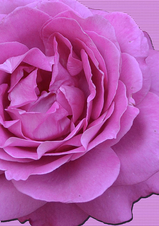Rose Photograph - In The Pink by Larry Bishop