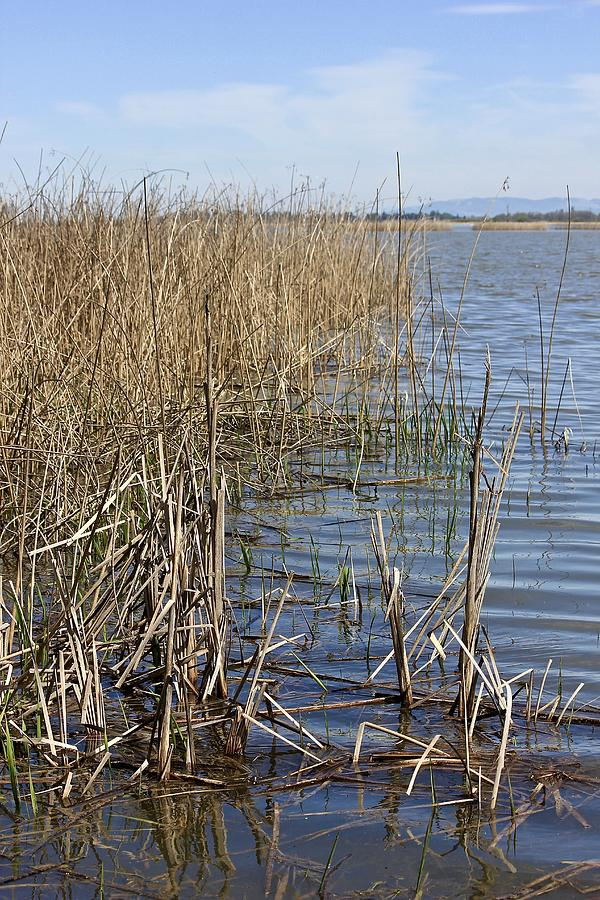 In The Reeds Photograph
