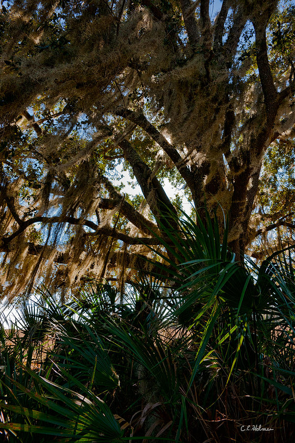 Botanical Photograph - In The Shade Of A Florida Oak by Christopher Holmes