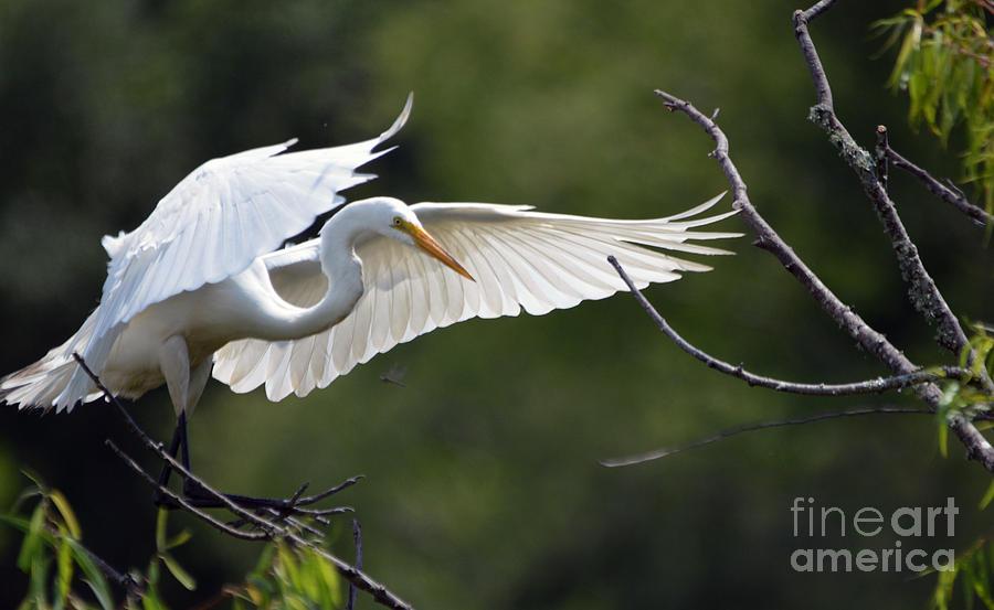 In The Wild White Snowy Egret Photo B by Barb Dalton
