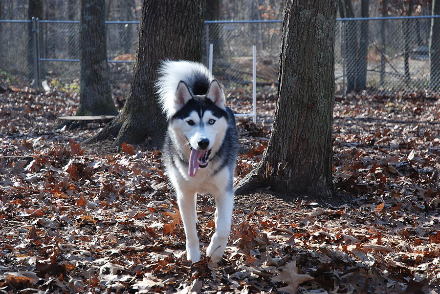 Husky Photograph - In The Wind by Clay Peters Photography