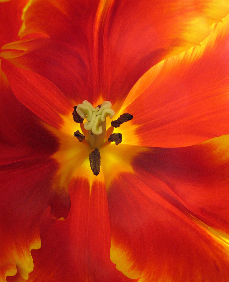 Flowers Photograph - Incandescence by Jessica Jenney