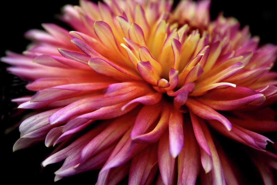 Dahlia Photograph - Incandescent Dahlia by Jessica Jenney