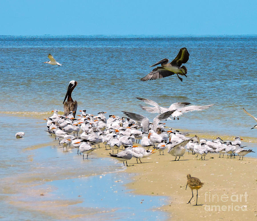 Shorebirds Photograph - Incoming by Marilee Noland