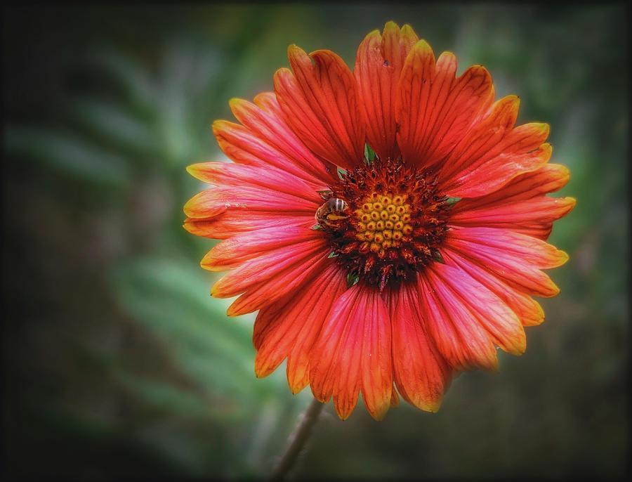 Indian Blanket Flowers by ELAINE MALOTT