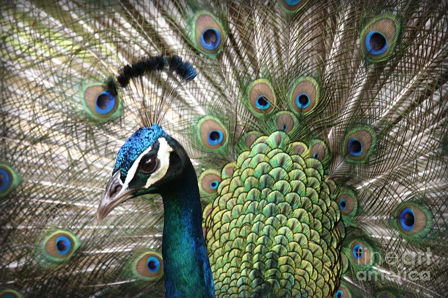 Aloha Photograph - Indian Blue Peacock Puohokamoa by Sharon Mau