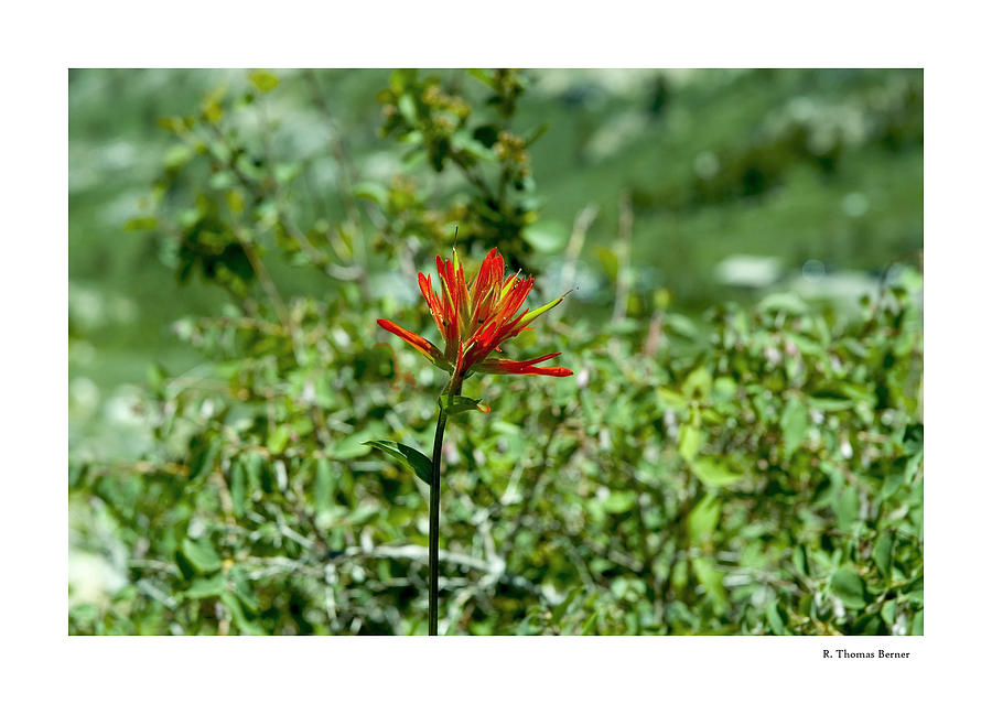 Indian Paint Brush Photograph by R Thomas Berner