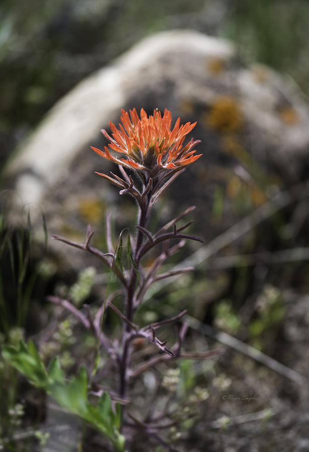 Color Prints Photograph - Indian Paintbrush 7 by Roger Snyder