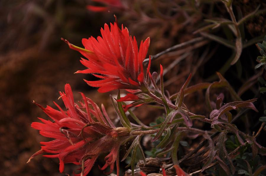 Flower Photograph - Indian Paintbrush in Sandstone Crack by Frank Madia