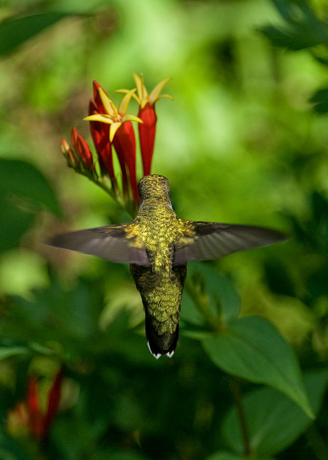 Hummingbird Photograph - Indian Pink by Bud Hensley