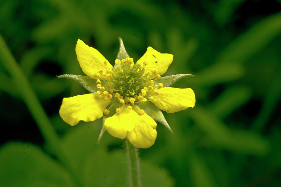 Duchesnea Indica Photograph - Indian Strawberry Flower by Elena Perelman