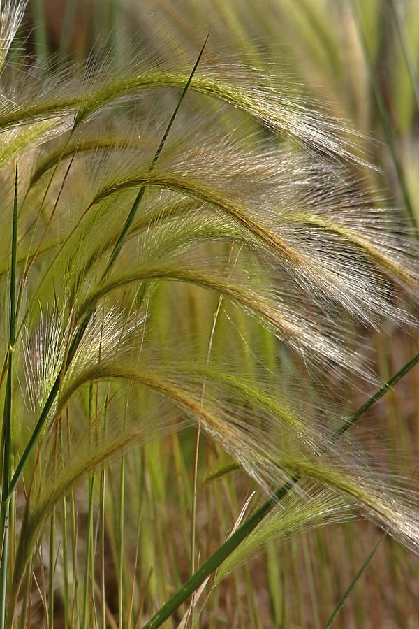 Grass Photograph - Indiangrass Swaying Softly With The Wind by Christine Till