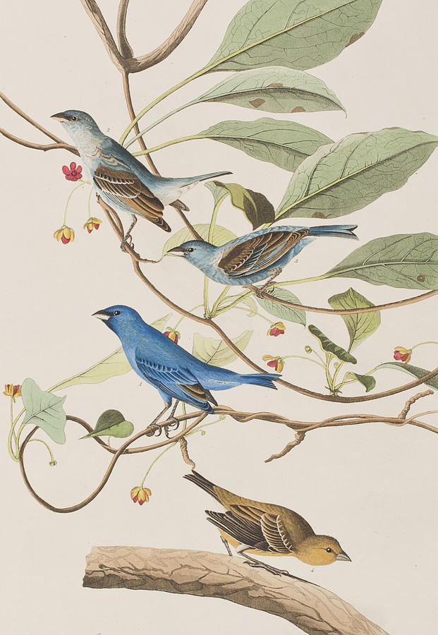 Indigo Bird Painting - Indigo Bird by John James Audubon
