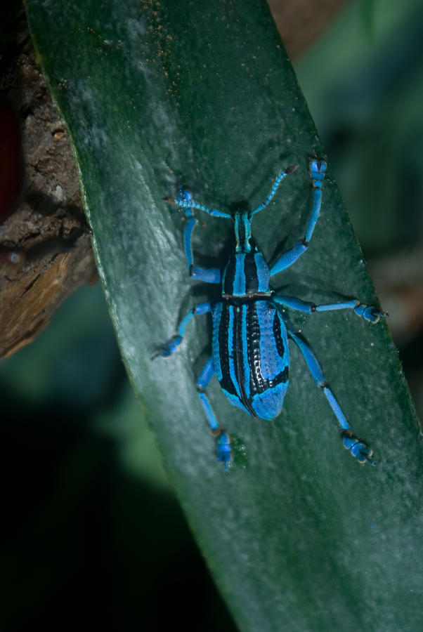 Weevil Photograph - Indigo Blue Weevil by Douglas Barnett