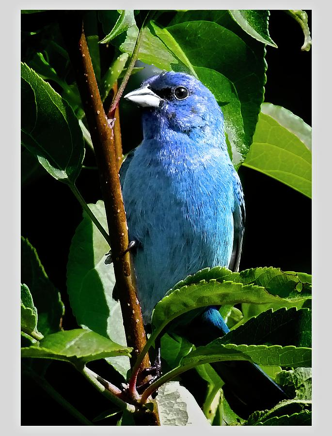 Bird Photograph - Indigo Bunting 1f, Ny, 18 by Richard Xuereb