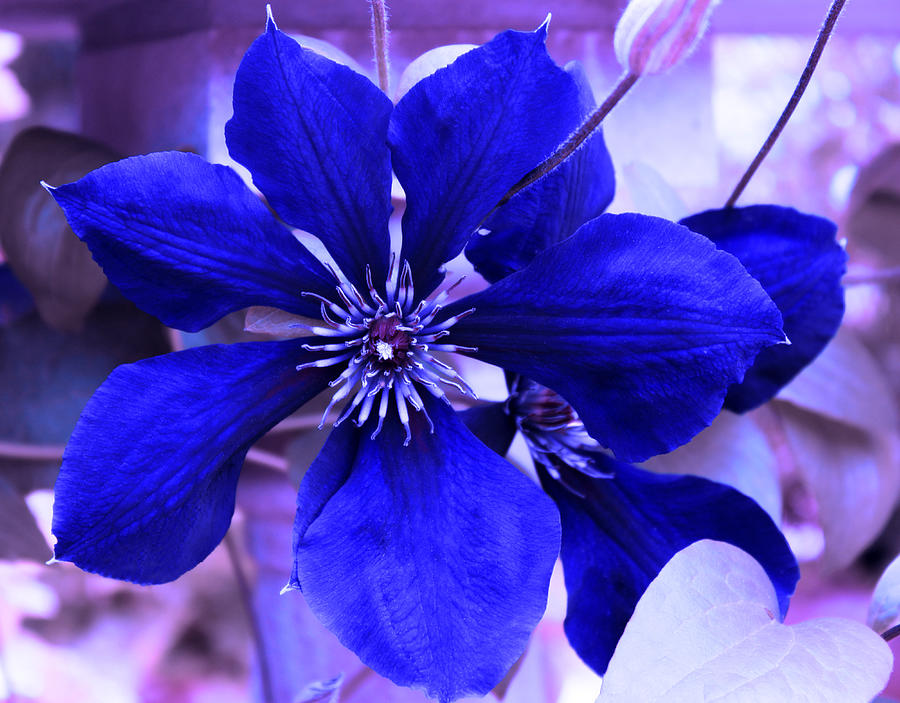 Indigo Flower Photograph By Milena Ilieva