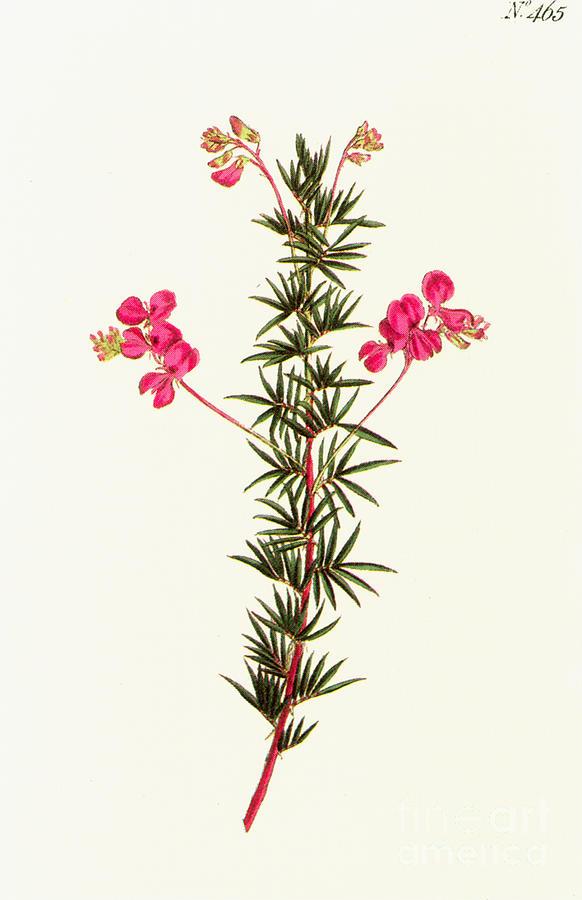 1799 Photograph - Indigo Plant by Granger