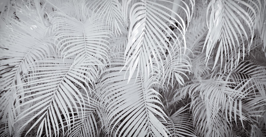 Abstract Photograph - Infrared Palm Abstract by Adam Romanowicz