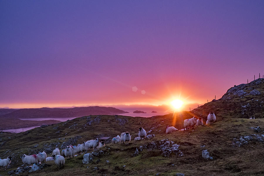 Inquisitive flock at dawn, Harris by Neil Alexander Photography