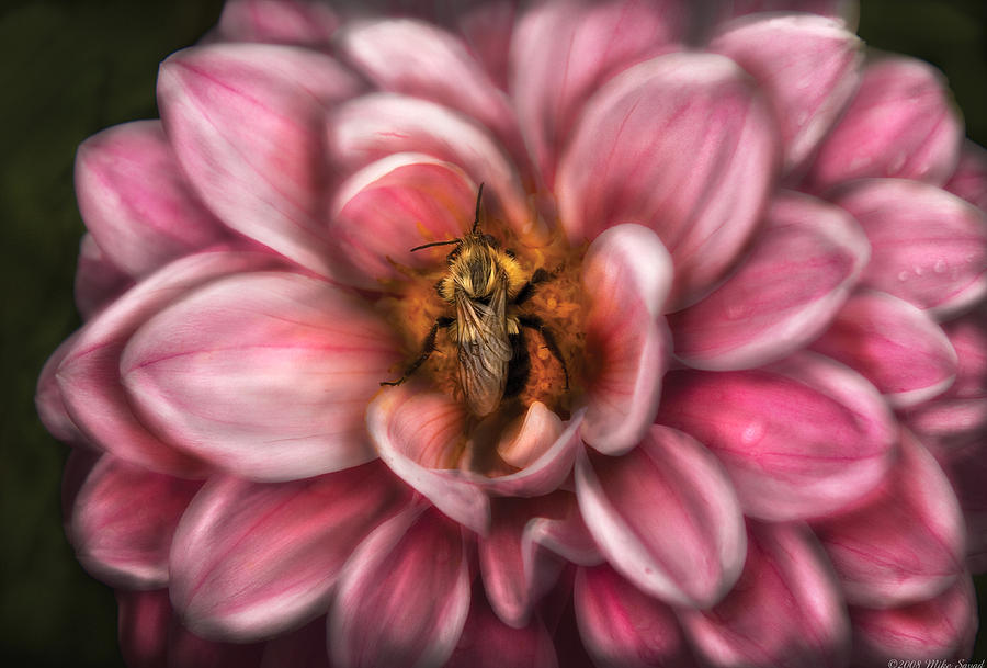 Savad Photograph - Insect - Bee - Center Of The Universe  by Mike Savad