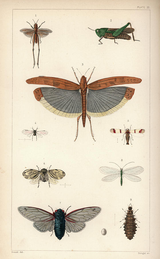 Insects, plate III by Antoine Sonrel