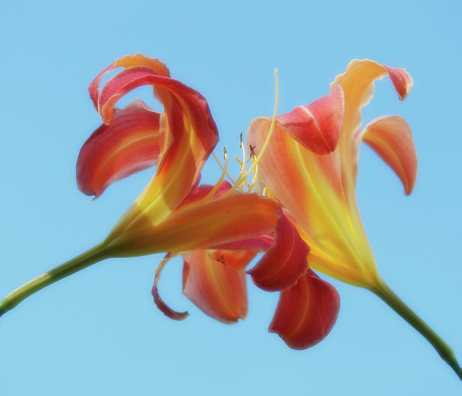Inseparable - Daylily Pair by MTBobbins Photography