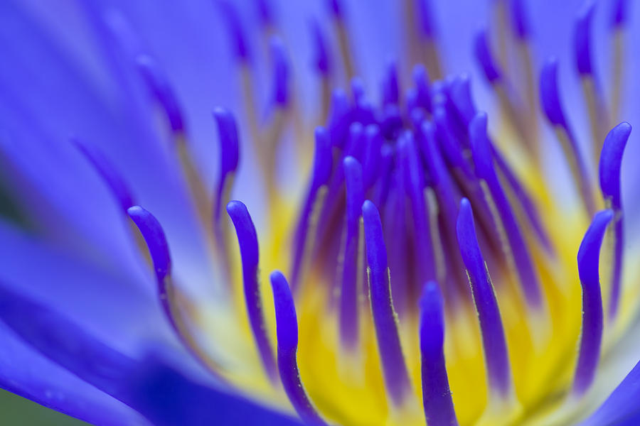 Inside The Blue Lotus by Priya Ghose