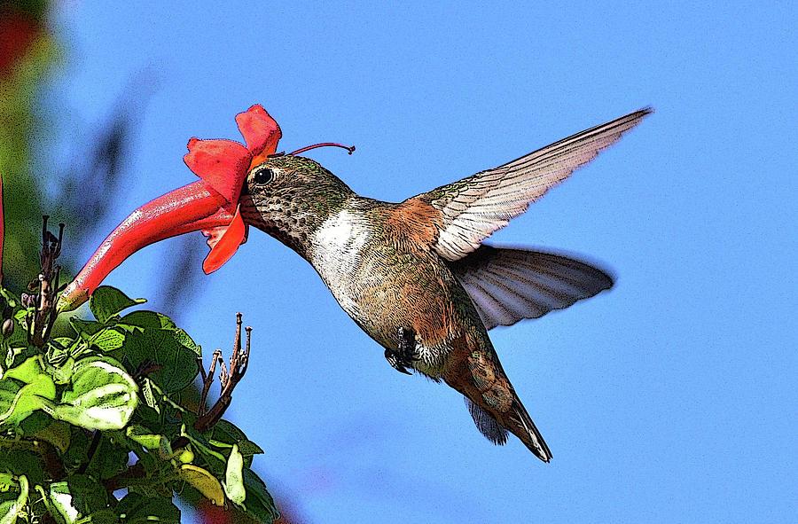 Hummingbird Feeding Photograph - Inside The Flower Posterized  by Linda Brody