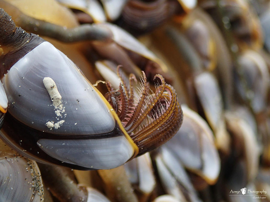 Goose Barnacle Photograph - Insider Life of Goose Barnacle  by Stephanie McGuire