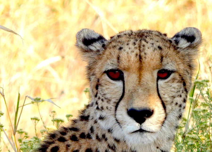 Cheetah Photograph - Intense Beauty by Patrick Murphy
