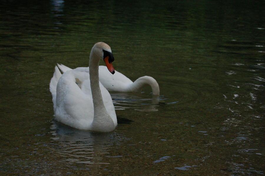 Swans Photograph - Intense Gaze by Siobhan Yost