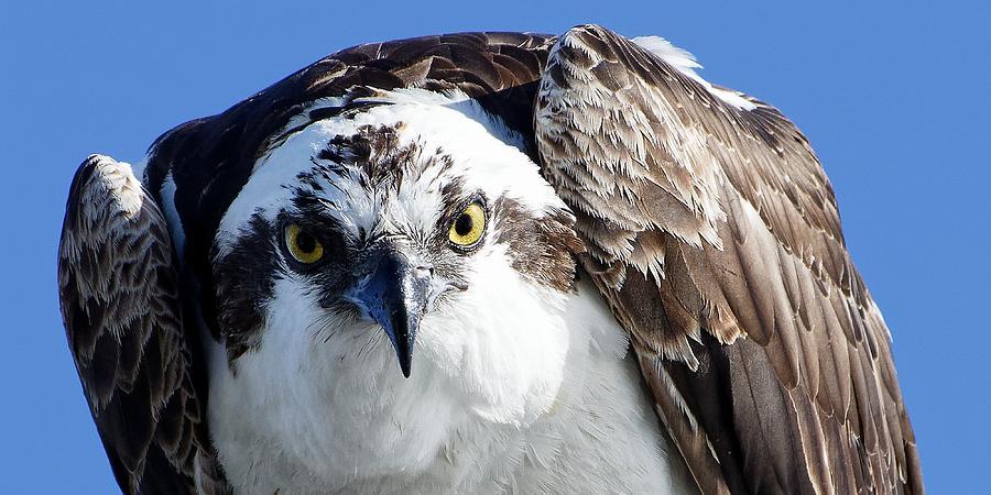 Intense - Osprey by KJ Swan