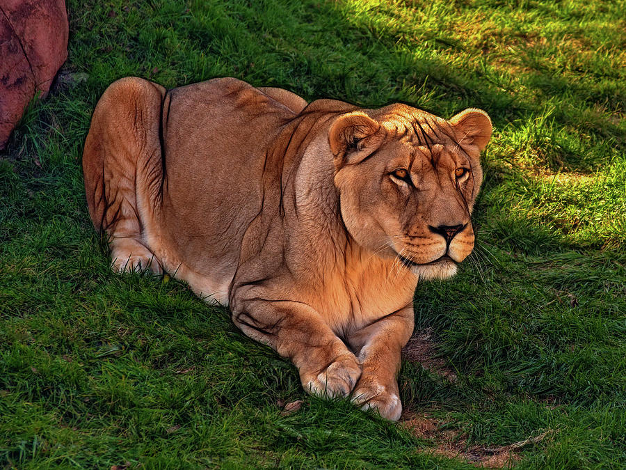 Lion Photograph - Intensity 3 by Steve Harrington