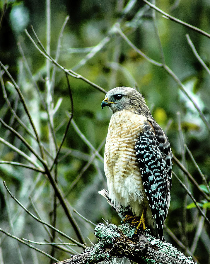Red Shouldered Hawk Photograph - Intensity by Norman Johnson
