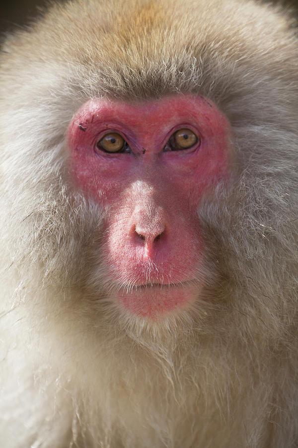 Snow Monkey Photograph - Intent by Leigh Lofgren