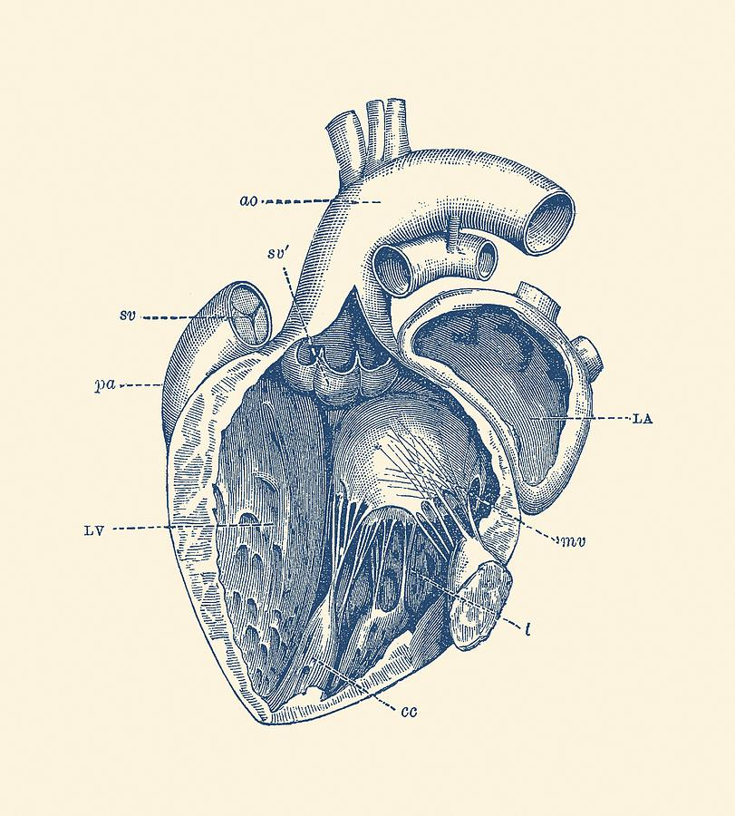 Internal Human Heart Diagram - Anatomy Poster Drawing by War Is Hell ...