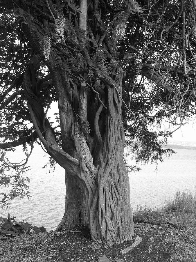 Tree Photograph - Intertwined For Life Black And White by Jennifer Compton