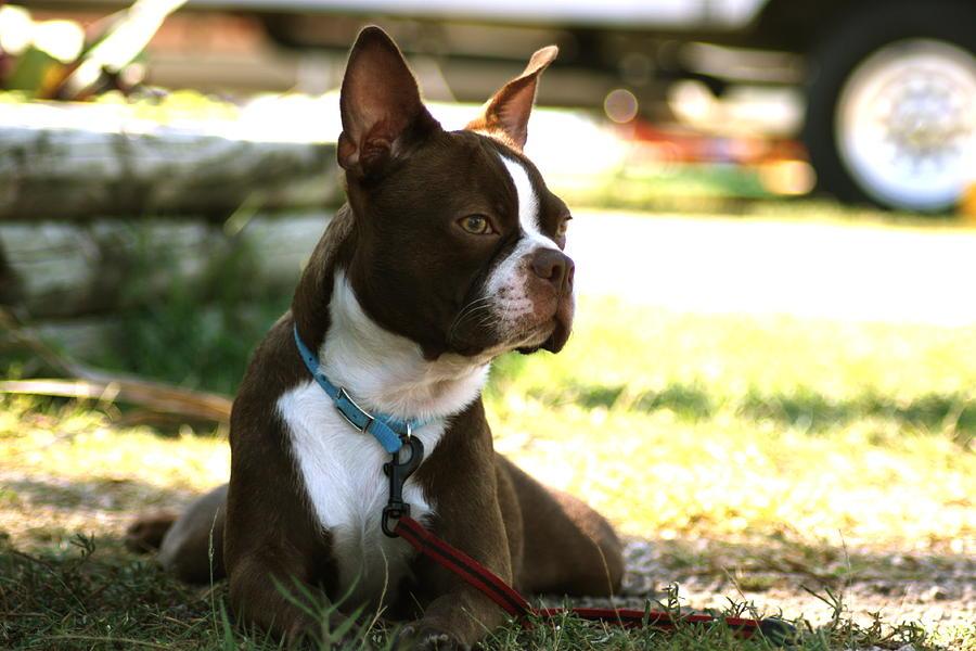 Boston Terrier Photograph - into de Horizon by Alexandra Mecoli