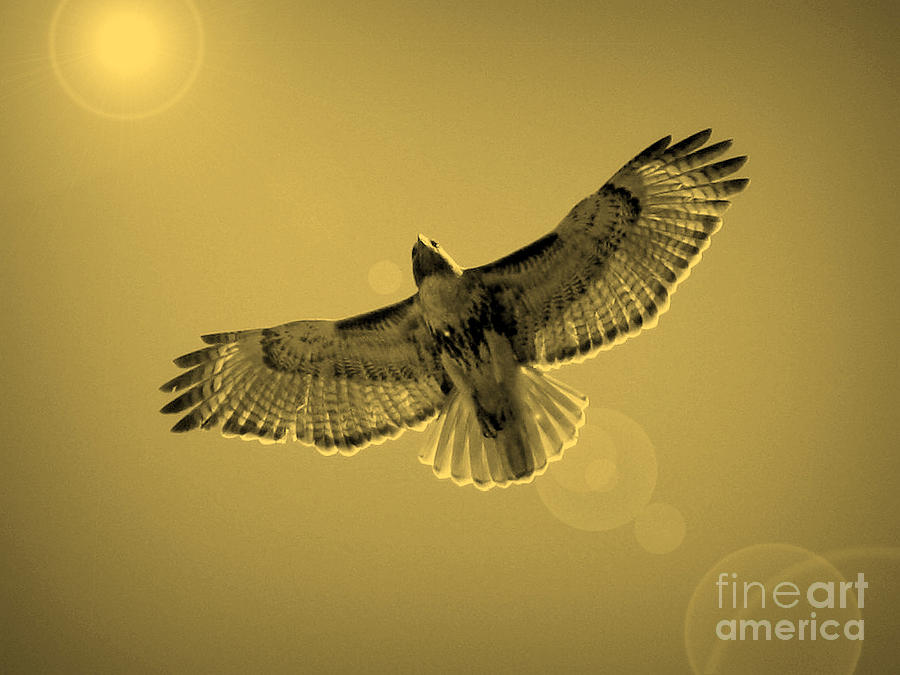 Red-shouldered Hawk Photograph - Into The Light - Sepia by Carol Groenen