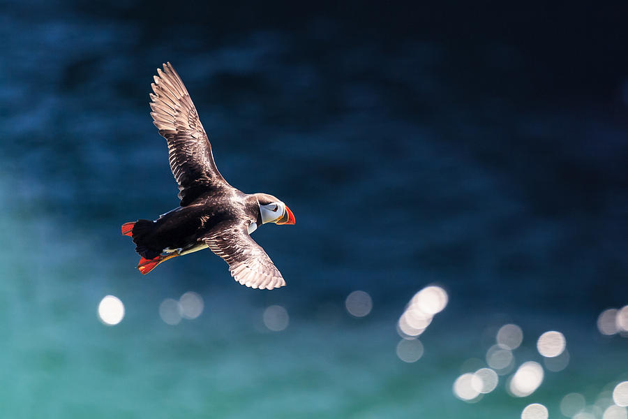 Puffin Photograph - Into The Light by Ingi T. Bjornsson