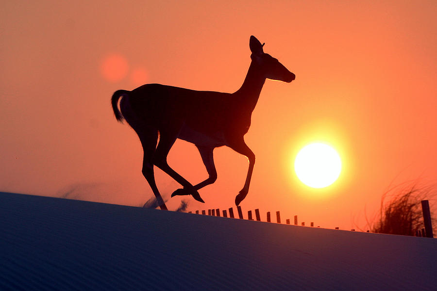 Deer Photograph - Into The Sunset by Scott Mahon