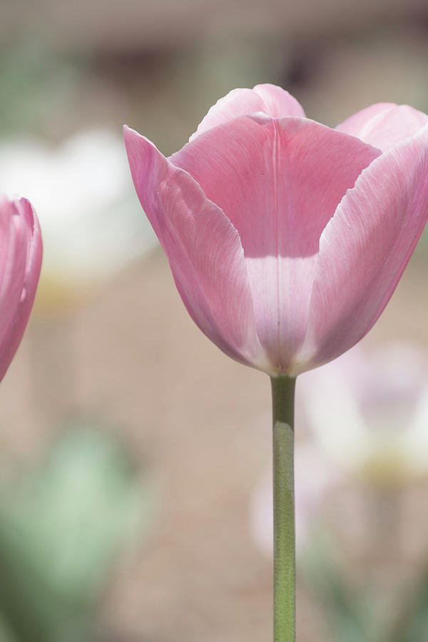 Tulip Photograph - Intrusion by Susan Newcomb