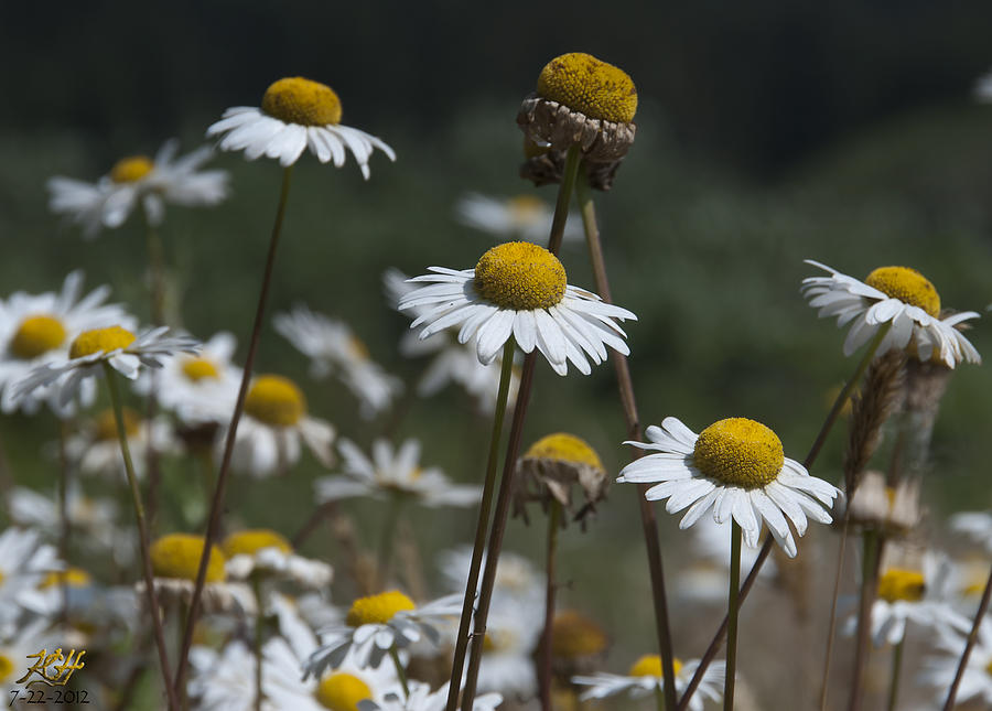 Daisy Photograph - Invasive by Kenneth Hadlock