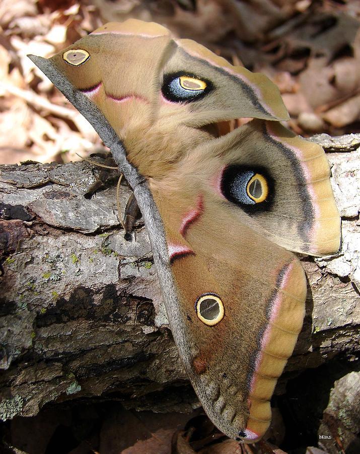 Io Moth Photograph - IO by Alana  Schmitt